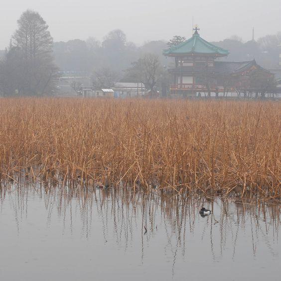 https://flic.kr/p/bDE6HK | 雨の不忍池#1 | Flickr仲間のaquariumさんと上野は不忍池まで撮影に行ってきました。 春の冷たい雨がそぼ降り、「次回こそは晴天の日に訪れよう!」と堅く誓い合う我々なのでありました(T_T)  Shinobazunoike in Ueno, Tokyo, Japan