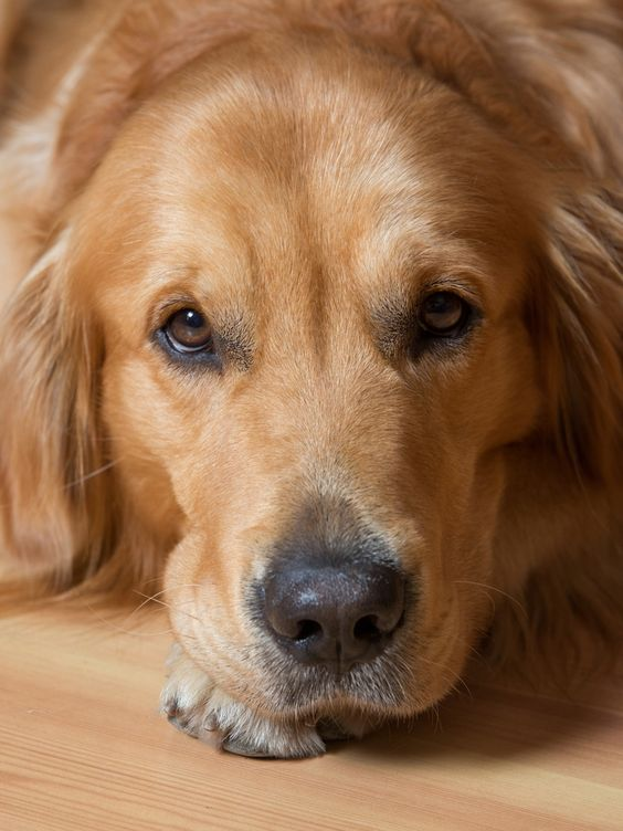 Golden Retrievers Can Have This One, Heartbreaking Flaw