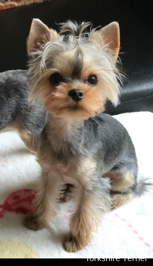 Yorkshire Terrier Energetic And Affectionate Yorkshire Terrier
