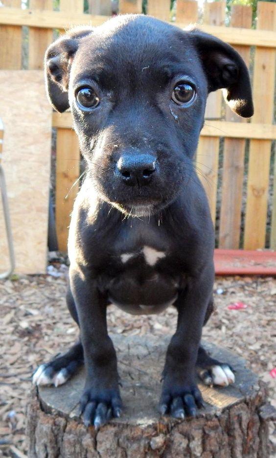 ADOPTED%!! Petfinder Adoptable | Dog | American Staffordshire Terrier | Atlanta, GA | Anastasia