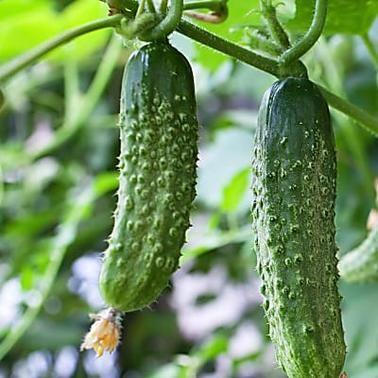 Die 5 Grossten Fehler Beim Gurken Anbau In 2020 Garten Anpflanzen Garten Pflanzen Gurken Anbauen