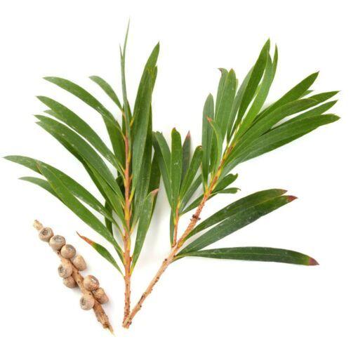 Tea Tree Oil Australian Bulk 100% Pure Natural Aromatherapy /Soap/Candles   Tea  tree oil, Aromatherapy soap, Natural aromatherapy