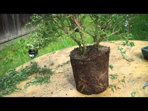 Awesome How To Create Bonsai From Nursery Plant Sweet Broom Part 2 Root Pruning U0026  Potting