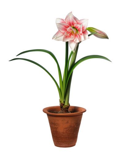 Amaryllis Repotting Guide When And How To Repot Amaryllis Plants Amaryllis Plant Amaryllis Bulbs Plants