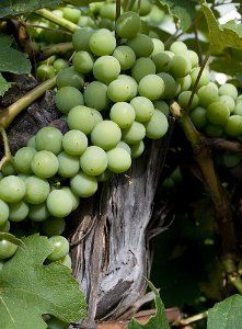 'Niagara' White Grape Vine Plant - Sweet & Juicy by Hirts: Fruits & Berries. $7.99. Hardy in zones 5-9. Vigorous grower & especially suited for atop arbors. White grape similar to Concord but ripens a bit earlier. Sweet and juicy with strong flavor. Immediate shipping. White grape similar to Concord but ripens a bit earlier, sweet and juicy with strong flavor, great eating grape. Vigorous grower & especially suited for atop arbors.