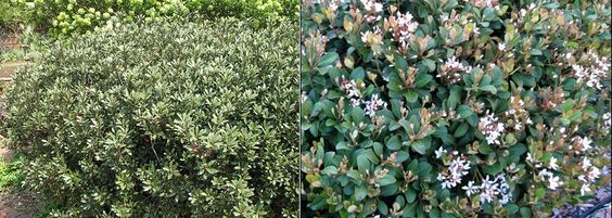 Indian hawthorns are low growing evergreen flowering for Low growing flowering shrubs