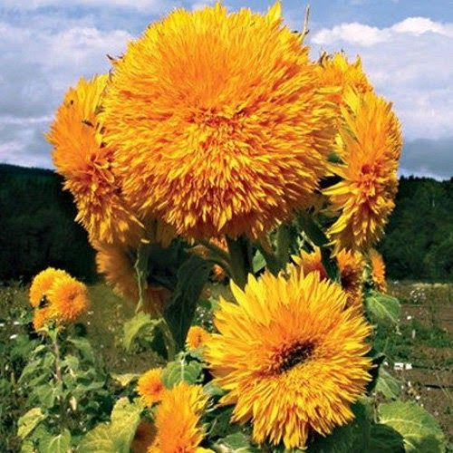 28 Bunga Matahari Red Sun Di 2020 Tanaman Bunga Menanam Bunga