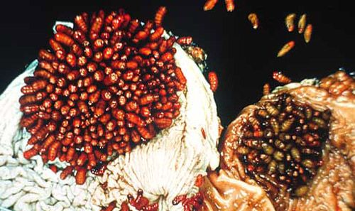 Equine Bot Fly (Gasterophilus) | Veterinary Medicine ...