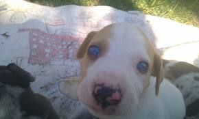 Hoots Catahoulas pups for sale visit us on FB