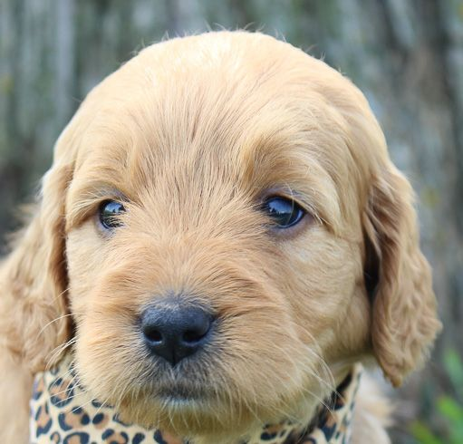 Daisy Pomsky Pup For Sale In Millersburg Indiana With Images Goldendoodle Puppy For Sale Goldendoodle Puppy Puppies