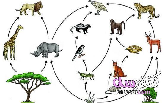 تعريف السلسلة الغذائية Animals Rooster