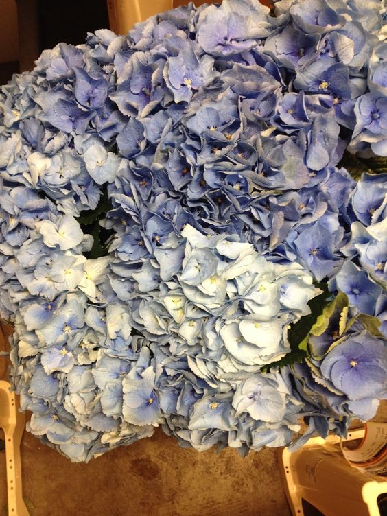 Mid and pale blue hydrangea in one bunch...these are 'Margarita'  Sold in bunches of 10 stems from the Flowermonger the wholesale floral home delivery service.
