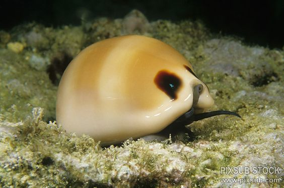 Beautiful Cowrie