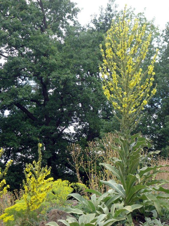 Die Kandelaber-Königskerze (Verbascum olympicum) streitet sich mit der silberlaubigen Verbascum bombiciferum um die Krone der Königinen.