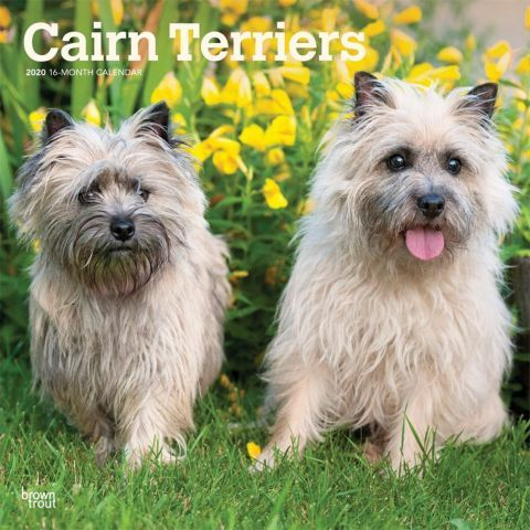 Cairn Terriers 2020 Calendar An Active Alert And Intelligent Dog The Cairn Terrier Has A Blue Collar Scottish Background Cairn Terrier Dog Breeds Terrier