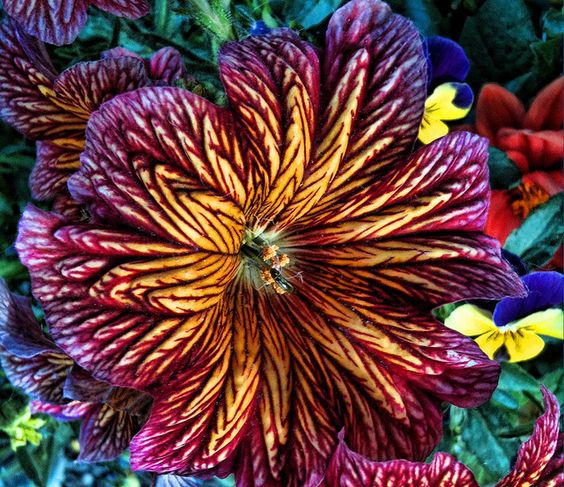 Painted Tongue (Salpiglossis sinuata):