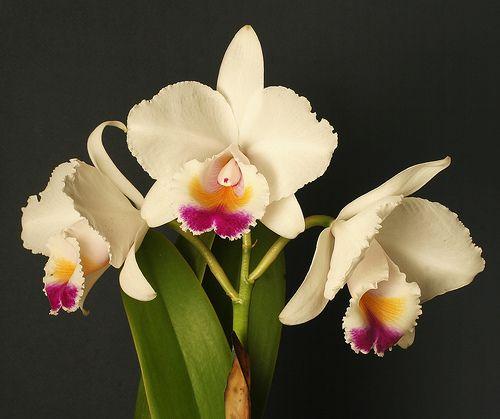 Cattleya Quadricolor Orchid Flower Cattleya Cattleya Orchid