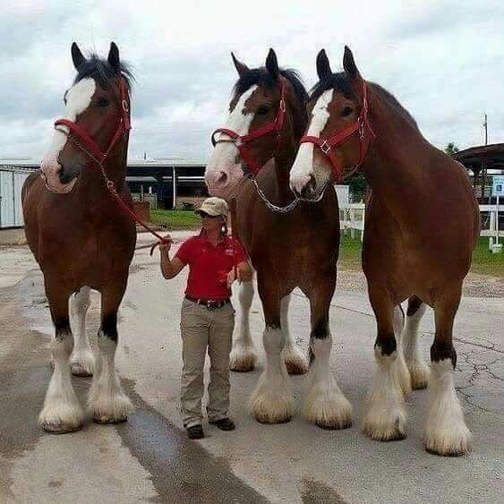 Ugh.... Clydesdales                                                                                                                                                     More