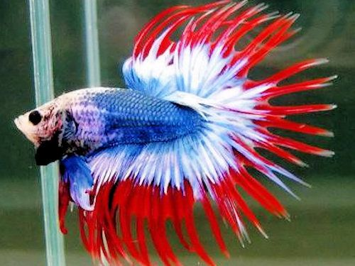 Poisson combattant aquarium alimentation photos bleu for Alimentation guppy poisson rouge