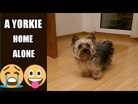 Pin On I Love Yorkshire Terrier