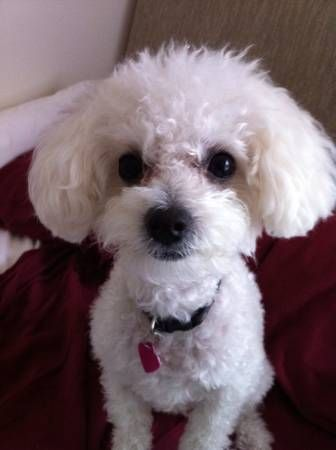 Lost Female White Mini Poodle Mix Dog In Reseda Reseda Saticoy At Wilbur Have You Seen My Dog She Got Out On Augus Poodle Mix Dogs Mini Poodles Losing A Dog