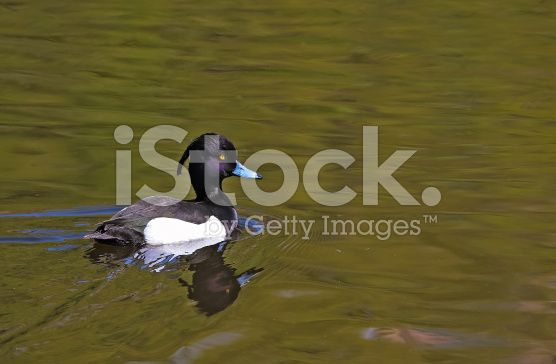 Wild duck royalty-free stock photo