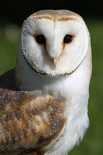 Barn Owl by Paul Bugbee on Flickr