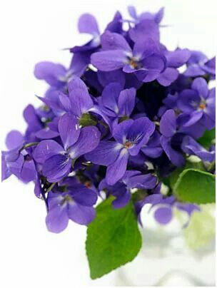 Perfect picture of violets: