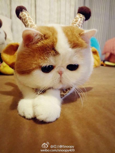 da cat chinese popular