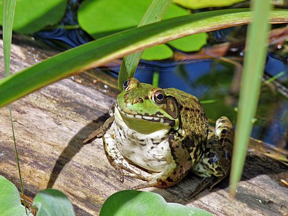 One of our froggie visitors