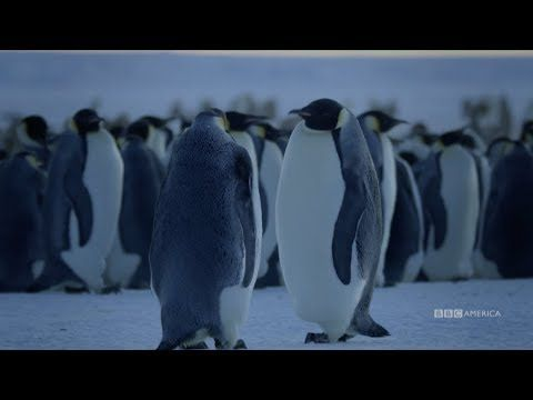 Watch Dynasties Emperor Penguins Saturdays At 9pm Bbc America Bbc America Penguins Emperor Penguin