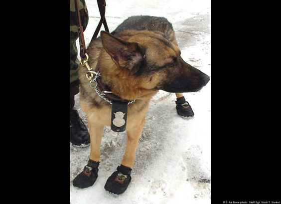 Military Working Dog Cindy shows off her cold-weather boots at Grand Forks Air Force Base in North Dakota