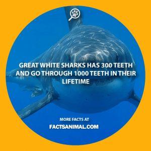 great-white-shark-teeth