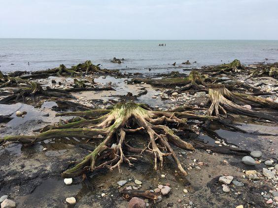 Остатки древнего леса на берегу Балтийского моря. Фото: Vladimir Shveda