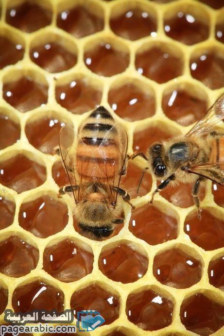 ماهي فوائد زيت الزيتون والعسل على الريق الصفحة العربية Bee Keeping Bee Hive Bee