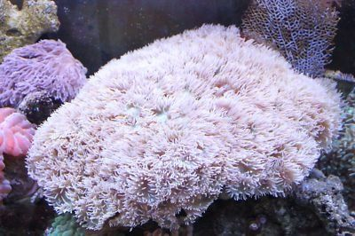Mature Duncan Coral.. inspiration for my baby frags