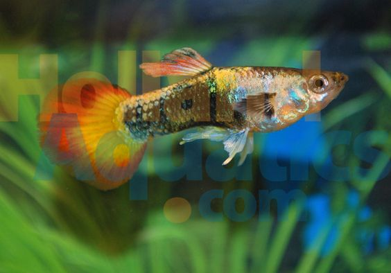 Google neon and search on pinterest for Baby koi fish for sale cheap