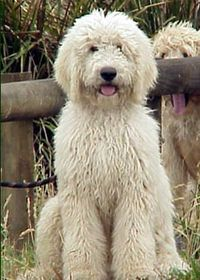 #Scruffy labradoodles  Repin,Share,Like, Thanks:]