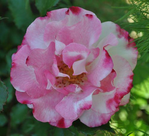 Floribunda Rose: Rosa 'Abigaile' (Germany, 1988)