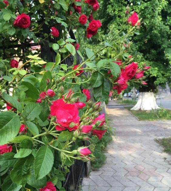 Пешеходная дорожка и кусты роз