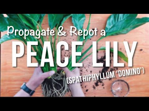 Propagating Repotting A Peace Lily Spathiphyllum Beginner S Guide To Repotting Propagation Youtube Peace Lily Peace Lily Plant Spathiphyllum