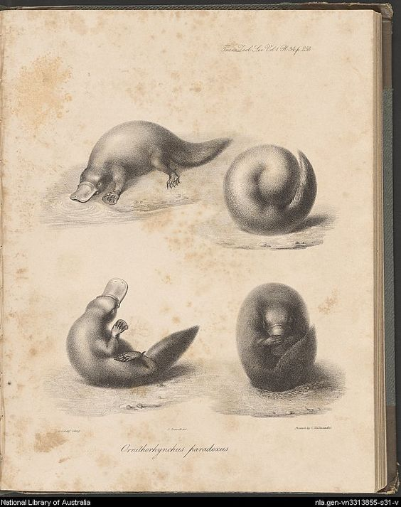 Platypus. National Library of Australia.