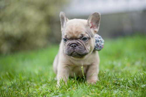 Chocolate Fawn French Bulldog Puppy Now Living In California