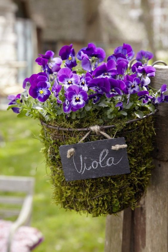 Violas crammed into a wire basket planter