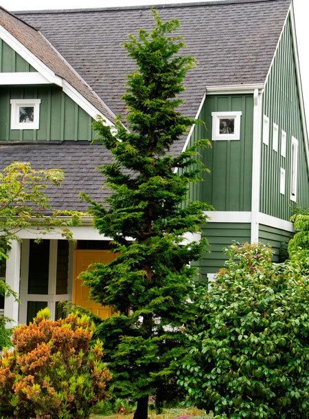 Slender hinoki cypress trees a tree and home for Small slow growing evergreen trees