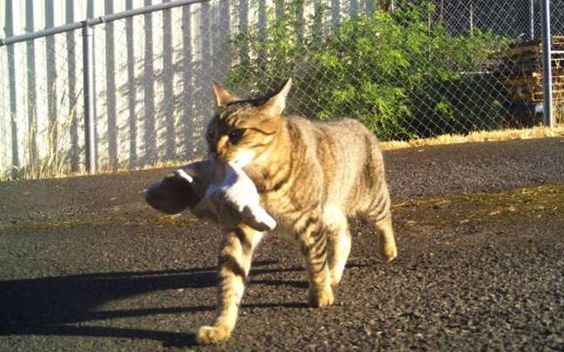 Tigger the Kleptokitty cat steals not fish, but weed http://indiatoday.intoday.in/story/tigger-the-kleptokitty-cat-steals-not-fish-but-weed/1/474055.html…