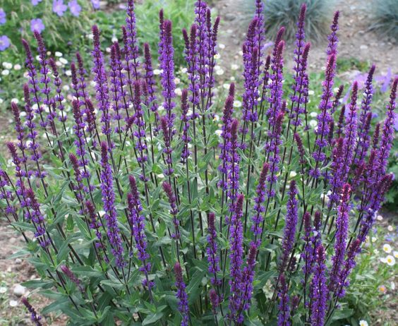 salvia nemorosa caradonna google zoeken vaste planten pinterest search plants and. Black Bedroom Furniture Sets. Home Design Ideas