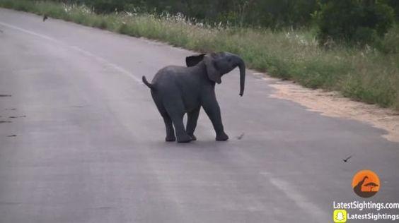 La lucha de un elefante bebé contra unas golondrinas [VIDEO]
