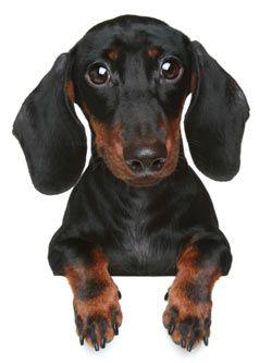 Pin By Jonathan Firth On Doggies Funny Dachshund Dachshund Dog