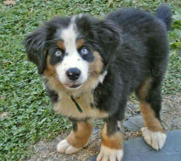 bernese-mountain-dog-puppies-rescue-57 - The Dog Wallpaper - Best ...